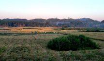 টেকনাফে ১০হাজার ৮শ ১৫হেক্টর জমিতে আমনধানের বাম্পার ফলন;ধান কাটার উৎসব শুরু
